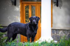 Dog Weight Loss: Guard Dog: Training Your Dog For A Home Invasion