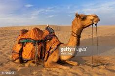 Ghum India Ghum is providing customised Tour Packages for Rajasthan. Book your Rajasthan Heritage Tour Packages, Cultural tour of Rajasthan also enjoy village walk tour of Rajasthan, get best itineraries for Rajasthan Alpacas, Camelo Bactriano, Animals And Pets, Cute Animals, Desert Sahara, Desert Tour, National Animal, India Tour, Tourist Places