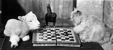 February 1933: A lamb and a cat playing draughts, watched over by a bantam, at Langford, Somerset.