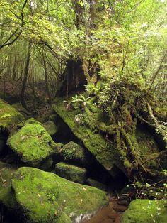 Shiratani Unsuikyo Ravine, Nihon.  La forêt de mousses qui a inspiré Hayao Miyazaki pour le flim Mononoke hime.