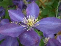 Clematis 'Royalty' - Group 2