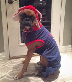 But I'm a real boy by boxer. Boxer Breed, Boxer Bulldog, Boxer Mom, Funny Boxer, Boxer And Baby, Boxer Puppies, Pet Parade, Allen Walker, Amazing Dogs