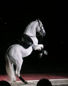 Lipizzaner show in Grand Rapids. Airs above the ground. Pretty Horses, Beautiful Horses, Equine Photography, Animal Photography, Lippizaner, Lipizzan, Spanish Riding School, Horse Dance, All About Horses