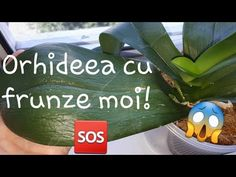 De ce are orhideea frunzele moi? - YouTube Salvia, Gardening, Instagram, Plant, Sage, Lawn And Garden, Horticulture