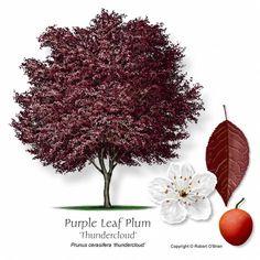 Purple leaf cherry plum tree in the front yard beautiful pink purple leaf plum tree mightylinksfo
