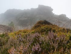 https://flic.kr/p/odteHi | Heather | Heather and Bilberries, The Roaches. Britain has 75% of the worlds Heather Moorland and it is rarer than tropical rainforest.