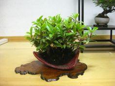 盆栽:今日から山野草展|春嘉の盆栽工房