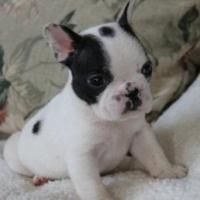 Adorable French Bulldog Puppies For Free Adoption Offer Boston