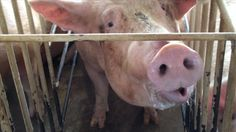 """Published on May 8, 2012  Warning: Contains Graphic Footage. Undercover video footage at """"Wyoming Premium Farms"""" revealing egregious cruelty and filthy conditions at a Wyoming pig breeding facility owned by a supplier for Tyson Foods."""