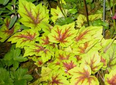 heuchera spotlight--a coral bell. These come in many colors and are grown for leaves. Small, mounding shade plants 1/3 size your hostas.