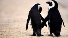 Frivillig arbeid med pingviner i Sør-Afrika