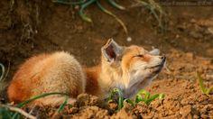 Лиса,лис, лисы, лиска,фэндомы,живность
