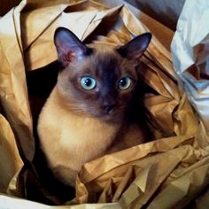 Chloe, our Tonkinese kitty getting in the middle of things!