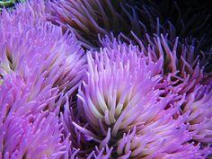 """触手の広がっている様子が花びらに見えることから、""""海のアネモネ""""と呼ばれているイソギンチャク。岩の上などに定着して生活するその姿は、まさに海底に咲いた美しき花。妖しく光る触手が幻想的で、気持ち悪いようなかわいいような不思議な魅力を持っています。そんな色とりどりのイソギンチャクの世界をご案内します。"""