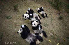 © PandaPia.