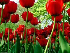 Spring Blooms with Tulips Red Tulips, Tulips Flowers, Beautiful Flowers, Poppy Flowers, Romantic Flowers, Bright Flowers, Red Poppies, Beautiful Pictures, Natural Fertility