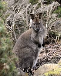 Image result for alpine wallaby photos