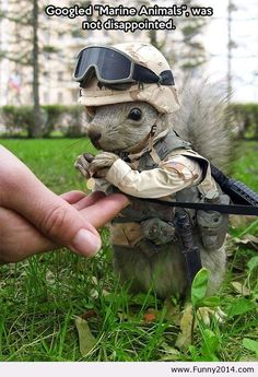 Marine soldier squirrel / Funny2014 on imgfave