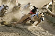 Tens of thousands of greyhounds are bred every year for the 27 racetracks in the United States, according to the U.S. Humane Society. They're intentionally over-bred so there will be plenty to replace old and underperforming greyhounds at the tracks. Each year, thousands of these retired dogs do not find a home; they are killed.