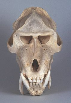 MANDRILL   Mandrillus sphinx