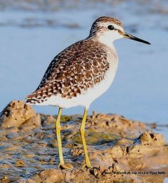 Wood Sandpiper on 15th Aug at RSPB Blacktoft Sands Singleton Hide. (i actually saw this bird at Blacktoft around that date - paul)