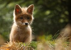magicalnaturetour:    Fox ~ Adamec :)    adorable!