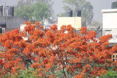 Gulmohur in full bloom, Delhi, India