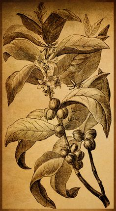 coffee plant illustration