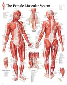 finally, a muscle chart for the woman\u0027s body with major musclemuscular system female educational chart poster 22 x 28in