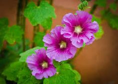 Hollyhock - productive, ambitious