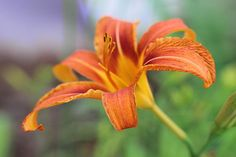 Orange Red Daylily 3
