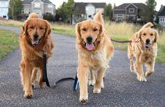 the golden gang