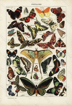 Antique Original old French lithograph ,book plate full page has text on reverse side Dated 1905 - Papillons - Butterflies