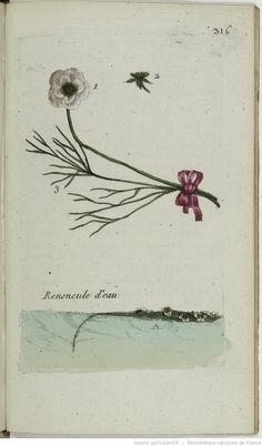 RANUNCULUS - Ranunculus aquatilis. La renoncule d'eau / La renoncule aquatique / La mille-feuille aquatique / La queue de cheval