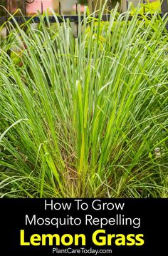 Lemon Grass Plant Care: How To Grow Lemon Grass The lemongrass plant, a mosquito repellant plant with a fresh, lemony fragrance place strategically by walkways, patios for optimum enjoyment. [LEARN MORE] Organic Gardening, Gardening Tips, Container Gardening, Vegetable Gardening, Veggie Gardens, Grow Lemongrass, Feather Reed Grass, How To Grow Lemon, Landscaping