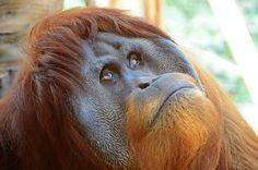 Skeptischer Blick von der Orang-Utan-Mama.