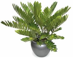 cardboard palm plant - Google Search Zamia furfuracea