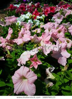 Find Pink Beautiful Petunias Floral Nature Background stock images in HD and millions of other royalty-free stock photos, illustrations and vectors in the Shutterstock collection. Thousands of new, high-quality pictures added every day. Petunias, Summer, Photo Editing, Royalty Free Stock Photos, Pink, Victoria, Beautiful, Illustration, Floral