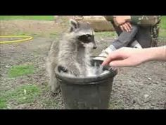 A three month old raccoon whose mother was killed by a car- being taken care of until he's ready for the wilderness.