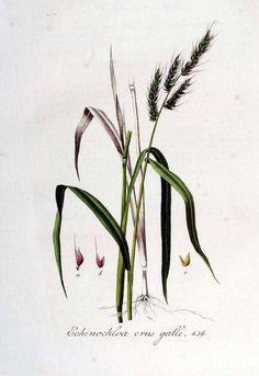 Echinochloa Crus Galli Descriptive Essay - image 5