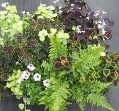 Shady container: 2 coleus, lime licorice, purple oxalis, white petunia, fern - never considered putting purple shamrocks in a planter. Container Plants, Container Gardening, Gardening Tips, Organic Gardening, Lawn And Garden, Garden Pots, Oxalis Triangularis, Shade Plants, Garden Supplies