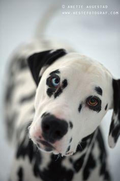 My Ripley had one blue eye and one brown eye, too.