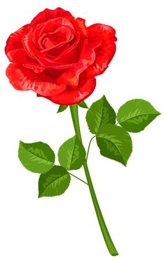 Rose Transparent PNG Clipart