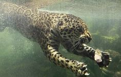 A jaguar swims towards his food that was dropped in the water during feeding time at Taman Safari Indonesia in Bogor, Indonesia, on October 23.