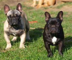 Egy francia bulldog és gazdái története: Francia bulldogot ...
