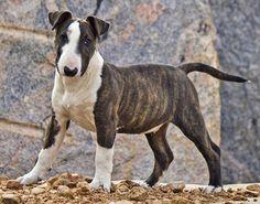 Cooper the Bull Terrier