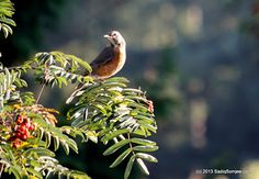 North American Robin basking in the early September sun, eying the red berries.