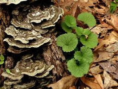 Turkey tail mushrooms - work to fight with prostate cancer