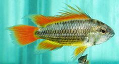 Cockatoo Dwarf Cichlid (Apistogramma cacatuoides))South American Cichlids  Cockatoo Dwarf Cichlid Adult Size: 3.5 inches (cm)  Cockatoo Dwarf Cichlid Life Expectancy: 5 years  Peaceful community fish