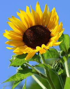 against the summer sky Types Of Sunflowers, Sunflowers And Daisies, All Flowers, Flowers Nature, Beautiful Flowers, Sunflower Garden, Sunflower Flower, Close Up Photography, Nature Photography